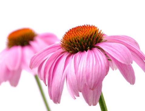 Wait...echinacea cost's how much? Forget it. Just throw in some wheat gluten.